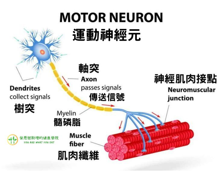 運動神經元介紹圖